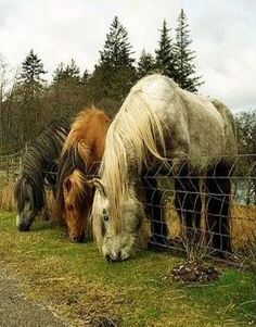 Older Draft Horses