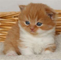 British Longhair Kitten | Cattery Celize's | The Netherlands | www.kittentekoop.nl