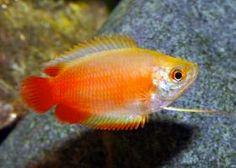 Dwarf Honey Red Gourami Fish Colisa chuna | Arizona Aquatic Gardens