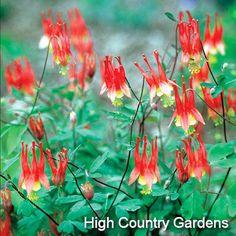 Aquilegia canadensis 'Little Lanterns'  Little Lanterns Columbine