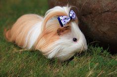 Guinea Pig Silkie