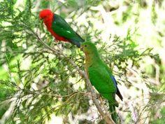 Australian King Parrot, (Alisterus scapularis.) Mr and Mrs.