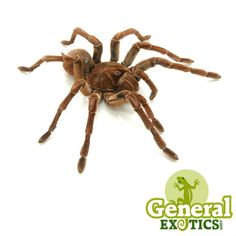 1000+ ideas about Tarantulas For Sale on Pinterest | Rose ...