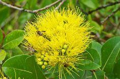 yellow ohia flower