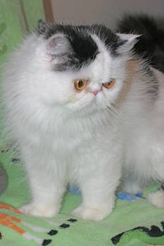 """Tiny """"Teacup"""": Blue-eyed Seal-point w/White Himalayan Male"""