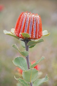 GOD IS SIMPLY AMAZING! Look at this… Banksia coccinea, Western Australia The Scarlet Banksia can still be found in a few nature reserves and national parks in the SW of Australia. It flowers in spring. It is to a minor extent grown for cut flowers, too. Asians reportedly refuse to believe that the flowers are …