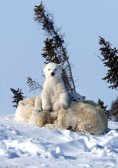 Wildlife photographer David Jenkins spent 10 years taking pictures of polar bears and their cub after being given a special permit to capture the bear's denning area in Wapusk National Park. Pictures Of Polar Bears, Cute Animal Pictures, Cute Baby Animals, Animals And Pets, Funny Animals, Wild Animals, Cute Polar Bear, Bear Cubs, Grizzly Bears