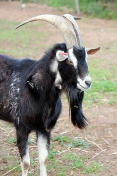 british alpine goat - Google Search