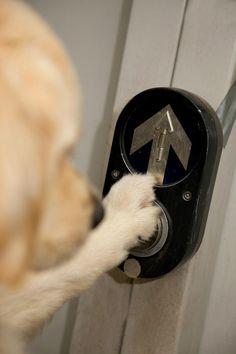 Vetanswers supports Assistance Dogs Australia & we love showing how clever these dogs are! Assistance dog pressing button at traffic lights, reminding us how wonderful they are.
