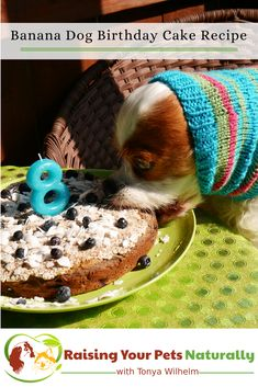 Dog-Friendly Banana, Blueberry and Coconut Dog Birthday Cake Recipe. Learn how to make a dog birthday cake that his healthy and tasty. #raisingyourpetsnaturally #dogbirthdaycake #dogcake #healthydogtreats #healthydogtreats #healthydogs #realfoodfordogs #homemadedogtreats #naturalpetfood #healthydog #healthydogs #healthydogfood #realfoodforpets #realfoodfordogs #naturalpetfood #petnutrition