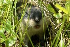 What is a Lemming - - Image Search Results Hamsters, Gerbil, Rodents, Arctic Tundra, Arctic Circle, Zoology, Creature Design, Some Pictures, Animal Kingdom