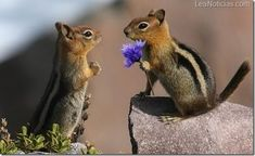 Cute little chipmunks go nuts over nuts and other things. Adorable chipmunks in every picture for you to get your daily dose of cuteness. Cute Baby Animals, Animals And Pets, Funny Animals, Animals Photos, Wild Animals, Chipmunks, Beautiful Creatures, Animals Beautiful, Cute Animal Pictures