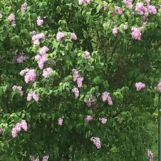 According to my family this lilac bush did not bloom until I moved in!! #synchronicity #shameresilience #shame #highvibelife #highvibetribe #thankandgrowrich #gratitude #gratitudejournal #lcsw #flowers #hypnosis #hypnotherapist #nlp #eft #shamebuster #psychotherapist #soulworker #intuitivehealer #lifecoach