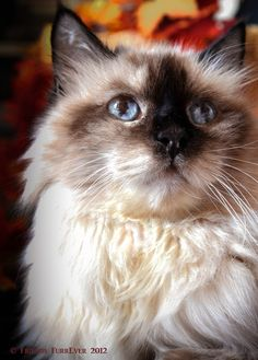 Balinese Cat Breed - Belezza,animales , salud animal y mas Cute Cats And Kittens, Cool Cats, Kittens Cutest, American Curl, Burmese Kittens, Balinese Cat, Exotic Cats, Siamese Cats, Beautiful Cats