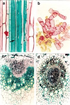 from Vascular Tissue Differentiation and Pattern Formation in Plants   Annual Review of Plant Biology  Zheng-Hua Ye