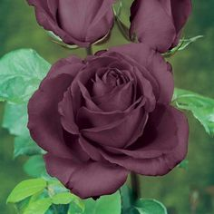 Rose 'Black Baccara' (Hybrid Tea Rose)