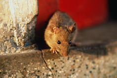 All About Rodents: 10 Points for Rat and Mouse Control