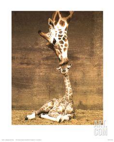Giraffe, First Kiss, by Ron D'Raine