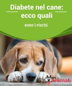Diabete nel cane: ecco quali sono i rischi  Il #diabete nel cane è una grave #patologia che dovete imparare a conoscere bene. Ecco tutte le #informazioni per riconoscerlo, #trattarlo e curarlo per bene. #Salute