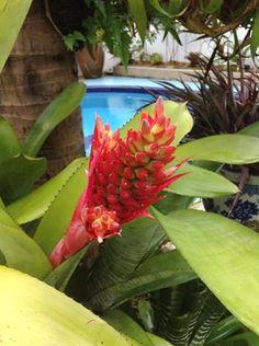 Flower of aechmea