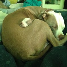 Pitbull Puppy Snuggles its mommy Love My Dog, Puppy Love, Cutest Puppy, The Animals, Baby Animals, Funny Animals, Cutest Animals, Animal Funnies, Cute Puppies
