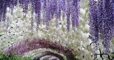Glicina (wisteria) cuidados básicos y mantenimiento