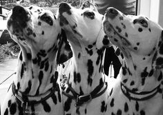dalmations | Flickr