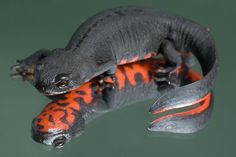 Japanese Fire-belly Newt