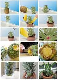 Resultado de imagem para brotar coroa abacaxi