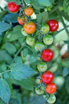 Jak urychlit zrání rajčat | rady a tipy