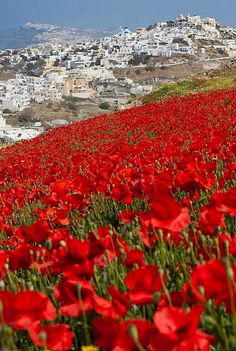 Poppies fields in Pirgos, Santorini Island, Greece
