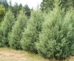 ~ Carolina Sapphire ~ Fast Growing Evergreens for Quick Privacy. P, read entire post