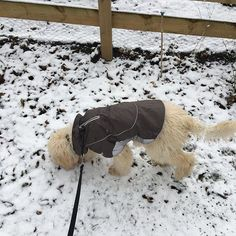 Mister Pick sent me a photo of our Daisy trying out her new coat.