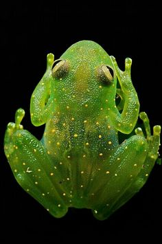 This should be called a gummy frog. Slope-snouted Glass Frog (Cochranella euknemos), a beautiful uncommon glass frog of Costa Rica, Panama, and N Colombia. Funny Frogs, Cute Frogs, Les Reptiles, Reptiles And Amphibians, Beautiful Creatures, Animals Beautiful, Cute Animals, Frosch Illustration, Glass Frog