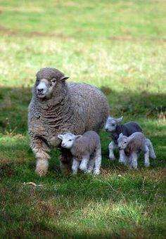 Sheep mom/babies