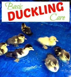Raising Ducklings 101 - This is a basic guide about taking care of baby ducks. When we were given 8 ducklings we had to learn quick. Pekin Ducklings, Duck And Ducklings, Pet Ducks, Baby Ducks, Backyard Ducks, Chickens Backyard, Baby Chickens, Duckling Care, Duck Pens