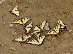 butterflies drink from the wet earth, so if you can keep a flat tray of damp sand or very small stones near their favorite flowers, they will also have a place to drink