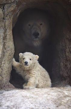 Los osos polares o Ursus maritimus, viven en la parte superior del hemisferio norte y son los carnívoros más grandes de la tierra. Existe...