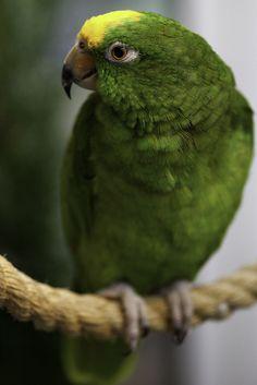 Peanut, the Amazon Parrot