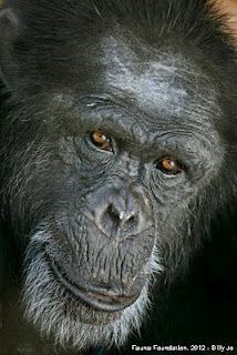 Billy Jo ~ Fauna Foundation We all miss you so much! - The most beautiful magnificient chimp I have ever met.