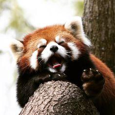 "73 Likes, 4 Comments - Red Pandazine (@redpandazine) on Instagram: ""I better go to sle... zzzzzzzzzzZzz Photo: Mark Dumont on flickr, CC BY-NC 2.0…"""