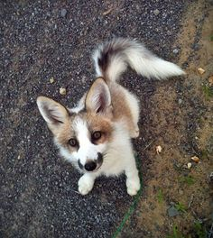 A Canadian marble fox!