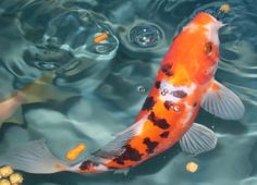 Image detail for -Thread: New Art Project - Photo of Koi & Goldfish Needed