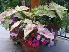 impatiens and caladiums for shade containers...This woman is from Grapevine and has great advice for Texans and what they should plant.