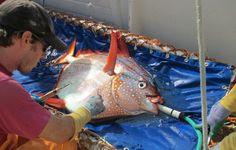 Descubren el primer pez 100% de sangre caliente | Ciencia | EL PAÍS