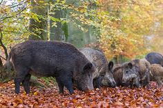 Wildschweinbache und aeltere Frischlinge im herbstlich verfaerbten Buchenwald - (Wildsauen), Sus scrofa, Wild Boar sow and older piglets in fall in a beech forest - (European Boar - Feral Pig)