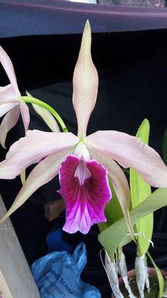 Laelia purpurata,
