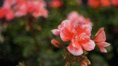 pelargonium www.agrariastanissa.com