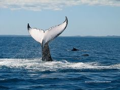Whale Watching Gold Coast and Hervey Bay