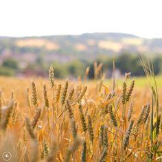 Golden hour in a wheat field